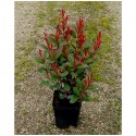 PHOTINIA fraseri Carré Rouge