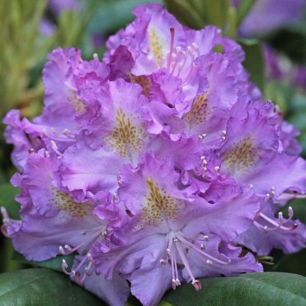 vente rhododendron germania